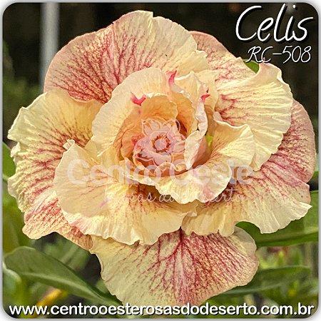 Rosa do Deserto Muda de Enxerto - Celis (RC508) - Flor Tripla - Cuia 21 (2 a 3 enxertos)