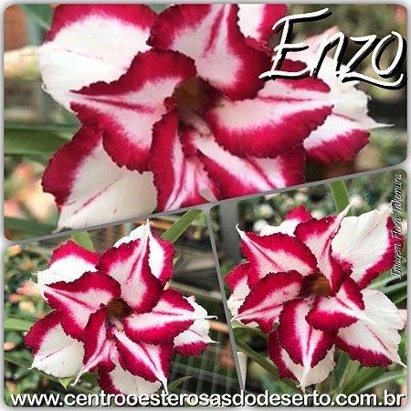 Muda de Enxerto - Enzo - Flor Dobrada