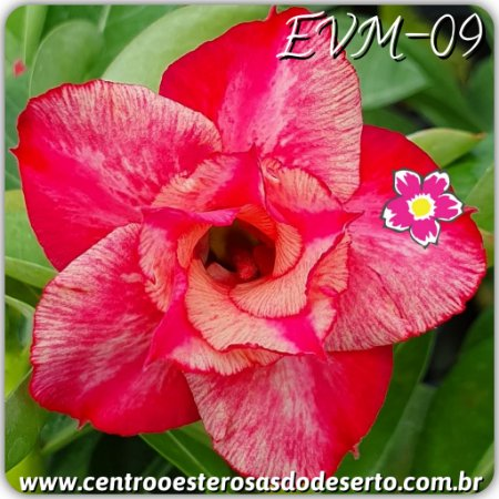 Rosa do Deserto Muda de Enxerto - EVM-009 - Flor Dobrada