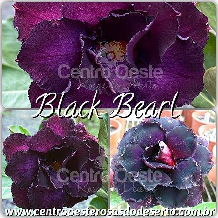 Muda de Enxerto - Black Bearl (RC539) - Flor Tripla