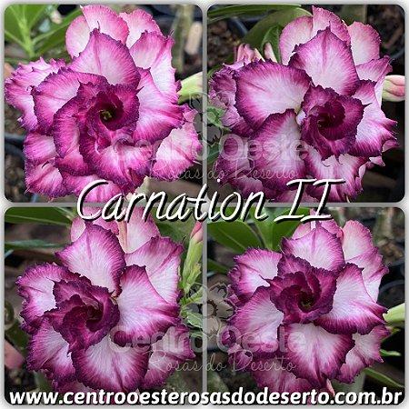 Muda de Enxerto - Carnation II - Flor Tripla
