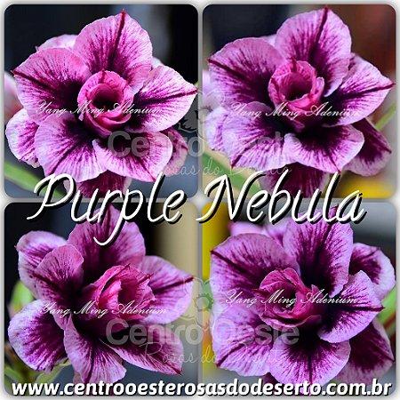 Muda de Purple Nebula - Flor Tripla Importada