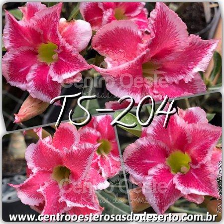Rosa do Deserto Muda de Enxerto - TS-204 - Flor Dobrada