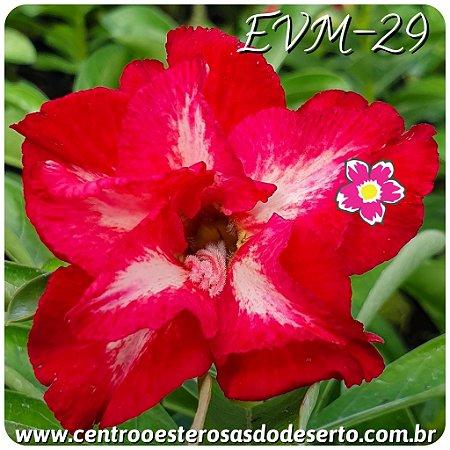 Rosa do Deserto Muda de Enxerto - EVM-029 Flor Dobrada