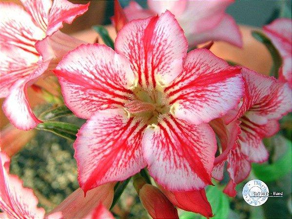 Semente Mr-KO - Star of Hope  - Kit com 5 sementes Flor Simples