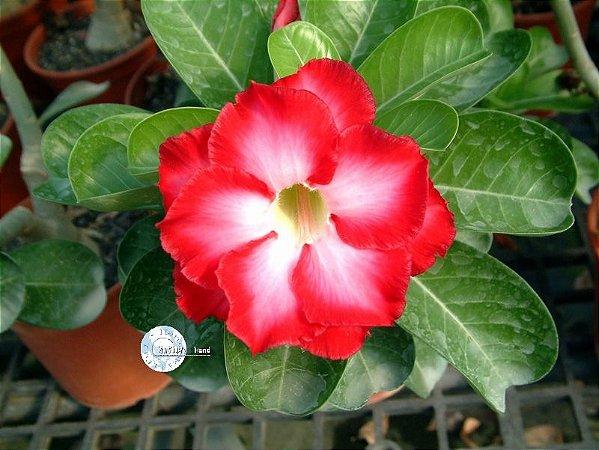 Semente Mr-KO Fragrant Cloud - Kit com 5 sementes Flor dobrada