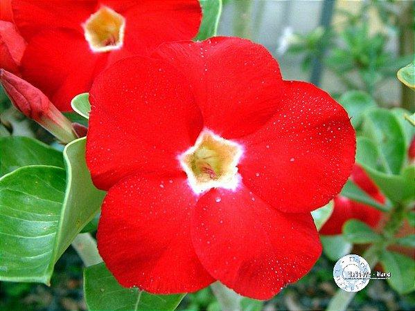 Semente Mr-KO Red Aurora - Kit com 5 sementes Flor Simples