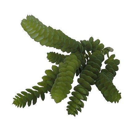 Suculenta Crassula Queimada  W298-64