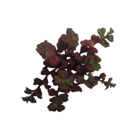 Flor Suculenta Hoya kerrii Vinho