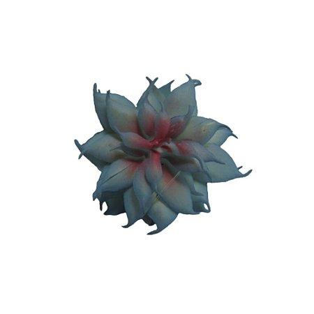 Flor Suculenta Haworthia Cymbiformis Azul
