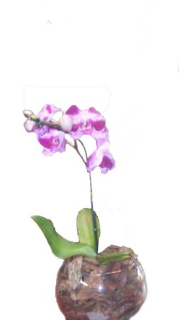 Orquídea  phalaenopsis lilas