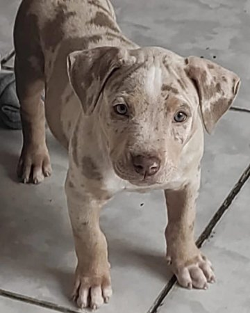 Pit Monster tri merle Lilac