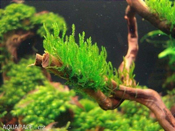 Musgo Flame Moss Porção