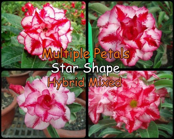 "Kit 5 Sementes de ""MULTI PETALS STAR SHAPE"" Rosa do Deserto - Adenium Obesum"