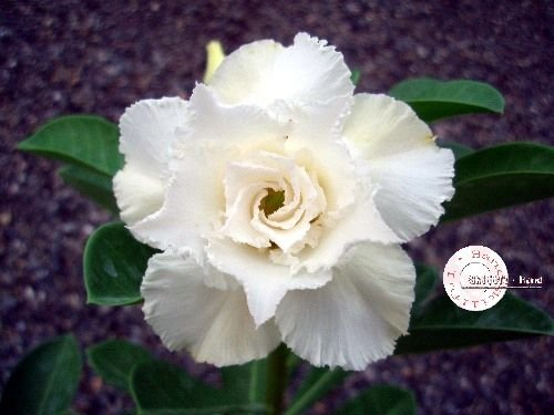 "Kit 5 Sementes de ""Mr. KO 15"" Rosa do Deserto - Adenium Obesum"