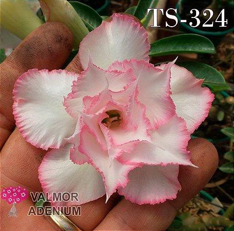Rosa do deserto Tripla Branca TS-324 - 12 Meses