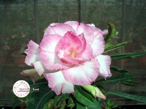 "Kit 5 Sementes de ""Mr. KO 18"" Rosa do Deserto - Adenium Obesum"