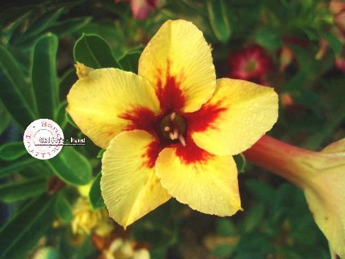 "Kit 5 Sementes de "" Mr. KO 23 "" Rosa do Deserto - Adenium Obesum"