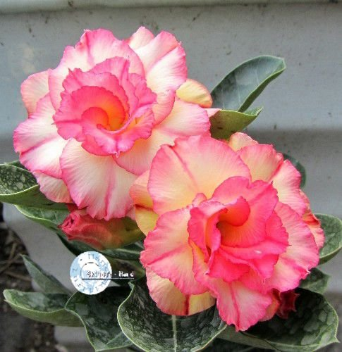 "Kit 5 Sementes de "" Mr. KO 06 "" Rosa do Deserto - Adenium Obesum"