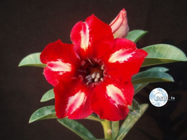 "Kit 5 Sementes de "" Mr. KO 40 "" Rosa do Deserto - Adenium Obesum"