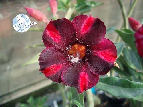 "Kit 5 Sementes de "" Mr. KO 42 "" Rosa do Deserto - Adenium Obesum"