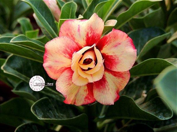 "Kit 5 Sementes de ""Mr. KO 59"" Rosa do Deserto - Adenium Obesum"