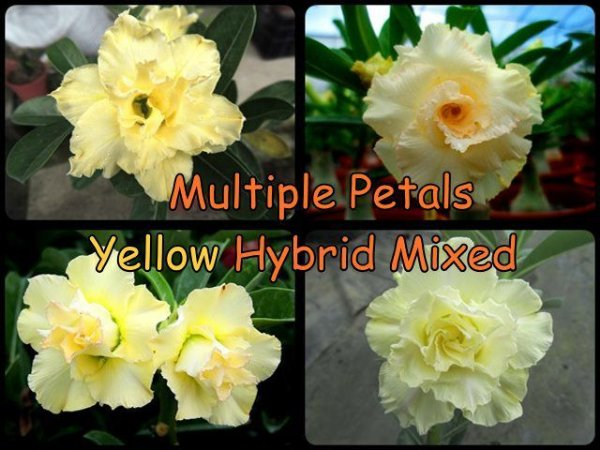 "Kit 5 Sementes de "" MIX MULTI PETALS YELLOW "" Rosa do Deserto - Adenium Obesum"