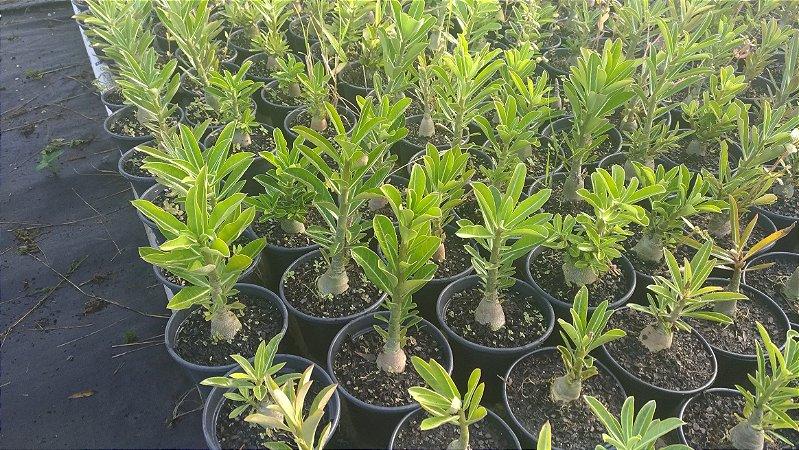 KIT com 10 Mudas de Rosa do Deserto até 8 meses - Adenium Obesum