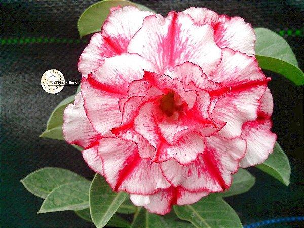 "Kit 5 Sementes de ""Mr. KO 66 "" Rosa do Deserto - Adenium Obesum"