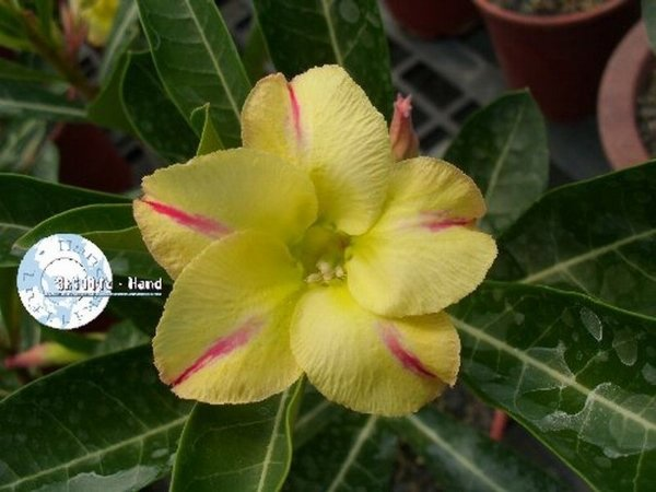 "Kit 5 Sementes de ""Mr. KO NEW YELLOW "" Rosa do Deserto - Adenium Obesum"