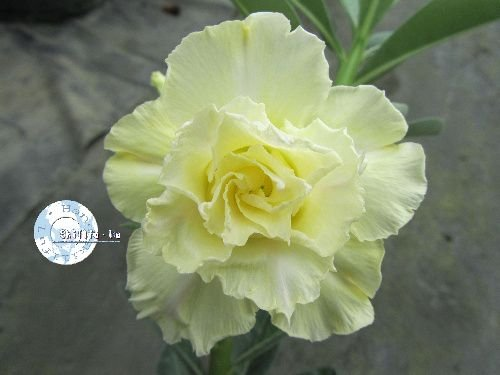 "Kit 5 Sementes de "" Mr. KO 41 "" Rosa do Deserto - Adenium Obesum"