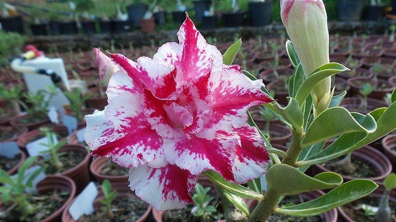 Muda enxertada de rosa do deserto TS-69  - 12 Meses