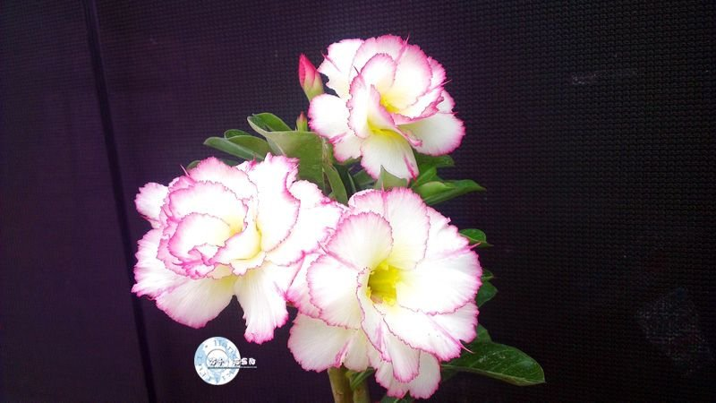 "Kit 5 Sementes de "" KO 68 "" Rosa do Deserto - Adenium Obesum"