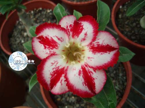 "Kit 5 Sementes de "" Mr. KO 48 "" Rosa do Deserto - Adenium Obesum"
