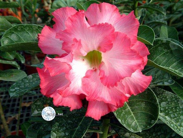 """Kit 5 Sementes de """"Mr. MERMAID """" Rosa do Deserto - Adenium Obesum"""