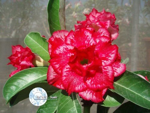 "Kit 5 Sementes de "" Mr. KO NARCISSUS "" Rosa do Deserto - Adenium Obesum"