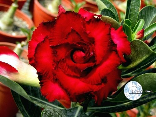 "Kit 5 Sementes de ""Mr. KO 14"" Rosa do Deserto - Adenium Obesum"