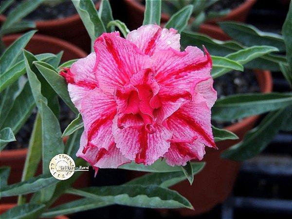"Kit 5 Sementes de ""Mr. KO 62 "" Rosa do Deserto - Adenium Obesum"