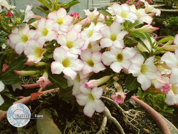 "Kit 5 Sementes de ""Mr. FOCUS "" Rosa do Deserto - Adenium Obesum"
