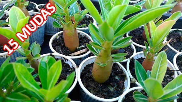 KIT com 15 Mudas de Rosa do Deserto 3 a 5 meses - Adenium Obesum