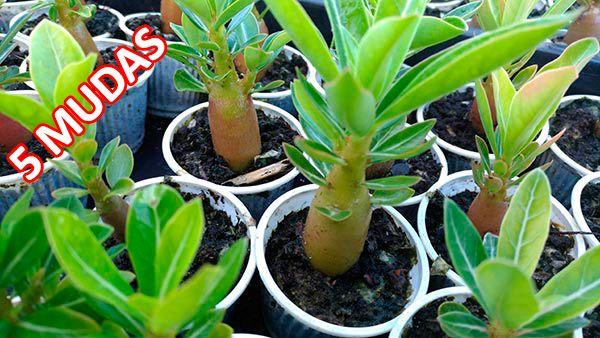 KIT com 5 Mudas de Rosa do Deserto 3 a 5 meses - Adenium Obesum