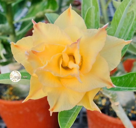 "Kit 5 Sementes de ""KO 74 "" Rosa do Deserto - Adenium Obesum"
