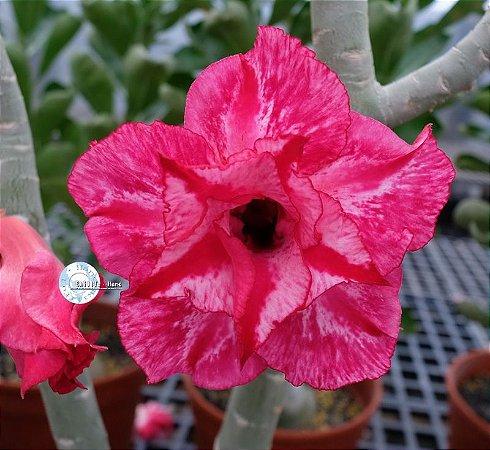 "Kit 5 Sementes de ""KO 81 "" Rosa do Deserto - Adenium Obesum"