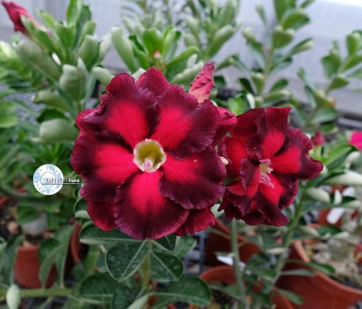 "Kit 5 Sementes de ""KO 90 "" Rosa do Deserto - Adenium Obesum"