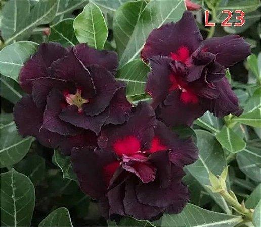 Rosa do deserto preta Tripla L-23 / L23 / 12 Meses