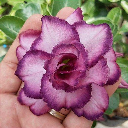Rosa do deserto Dobrada Roxa M-66 / M66 / M 66  - 12 Meses