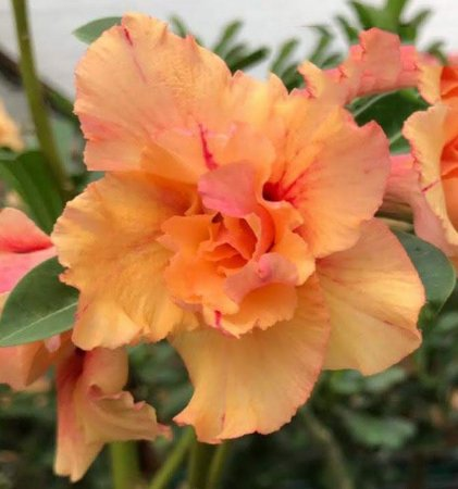 Rosa do deserto tripla ORANGE LOVER 12 Meses