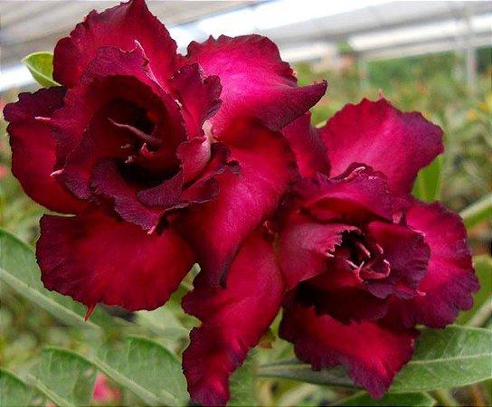 Rosa do deserto roxa tripla VIOLET - 12 Meses