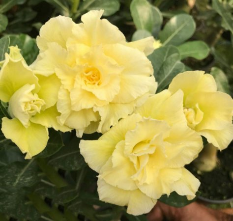 Rosa do deserto tripla amarela L-26   12 Meses