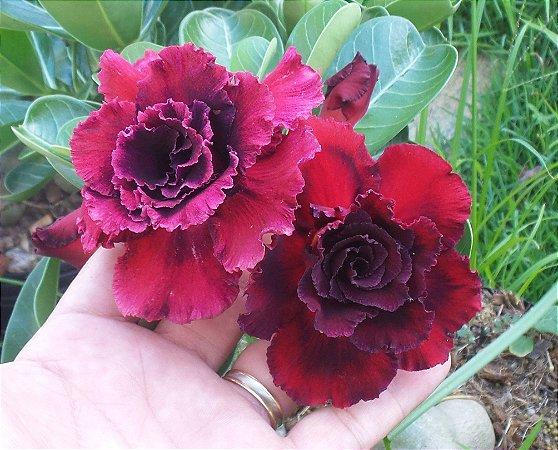 Rosa do deserto roxa tripla BLACK WIDOW - 12 Meses